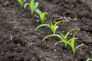 Row_of_corn_growing_in_field