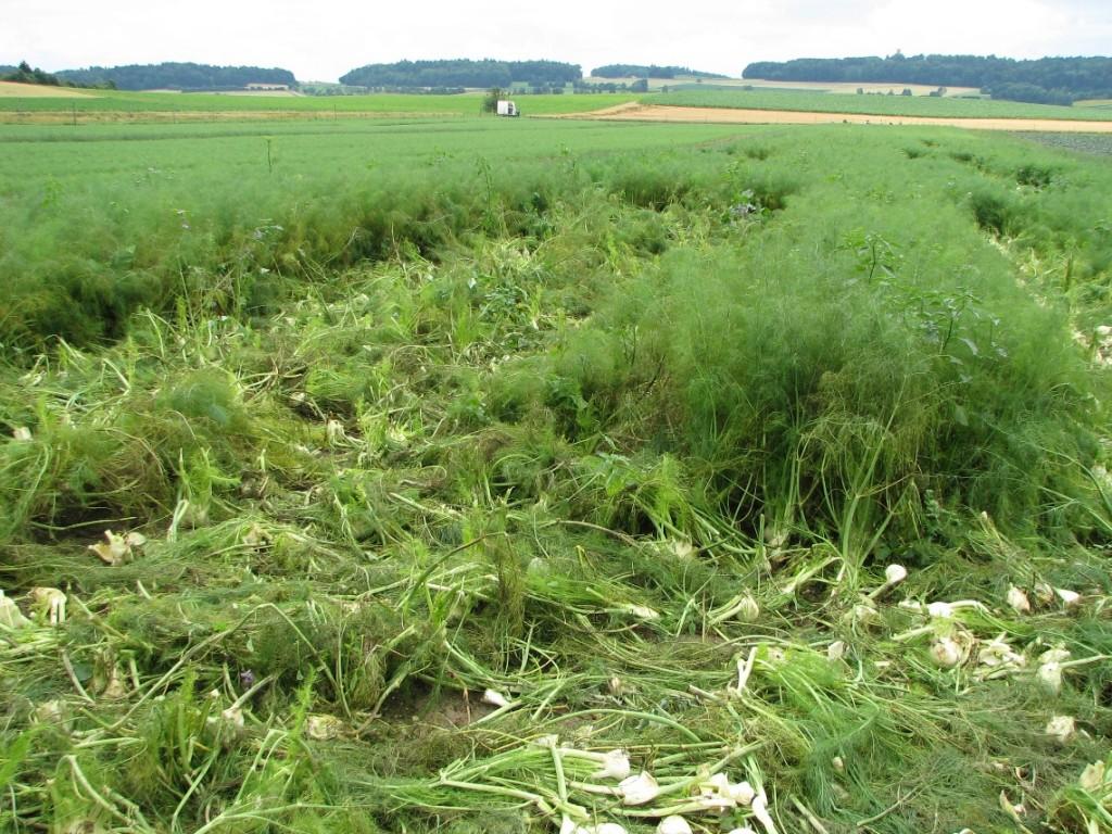 Fenouil attaqué par le mildiou - perte totale (photo: Agroscope 2015)